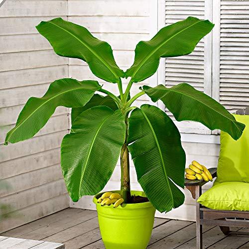 Musa'Basjoo' | Bananenpflanze Winterhart | Bananenbaum | Faserbanane | Höhe 30-40cm | Topf-Ø 15cm