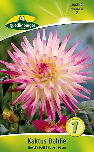 Quedlinburger 308540 Kaktus-Dahlie Hayley Jane (1 Stück) (Dahlienzwiebeln)