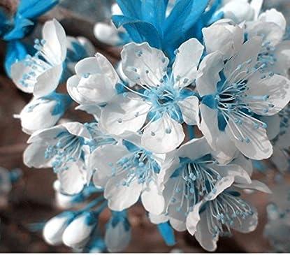 Foto di 10PCS cielo blu rari semi bianchi di ciliegio, mini bonsai giapponese sakura semi, piante ornamentali