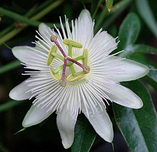 Weiße Passionsblume - Passiflora caerulea Constance Elliot - 60-80cm 2 Ltr. Topf