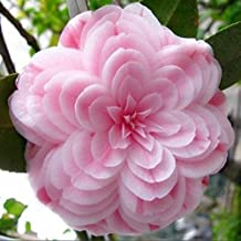 Promotion!!! 50 pieces/bag,Camellia seeds, Camellia flowers seeds 24kinds color for chose