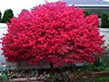 Dwarf Burning Bush Tree- 3 Year Old- 6-12' Tall 4' Pot Hardy Shrub (Euonymus Alatus)- Garden Tree