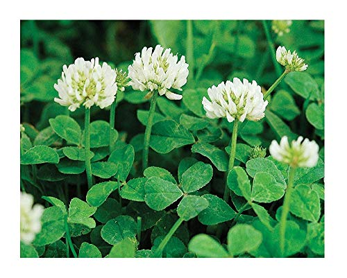 David's Garden Seeds Cover Crop Clover New Zealand 9122 (White) Non-GMO, Open Pollinated Seeds One Ounce Package