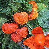 Semilla de seta de montaña roja Semilla de seta de fruta de seta roja 300 cápsulas