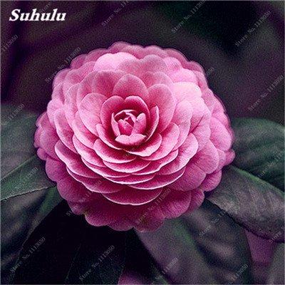 Grosses soldes! 10 Pcs Camellia Graines, Graines Bonsai Fleur, couleur rare, bonsaïs d'intérieur / extérieur Plante en pot pour jardin Facile à cultiver 4