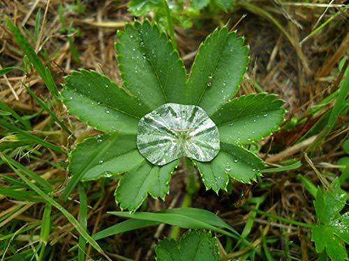 Asklepios-seeds® - Alchemilla xanthochlora 200 Samen # Gelbgrüner Frauenmantel # Heilpflanze