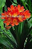 Bloom Green Co. Clivia miniata Bonsai Splendida Rare Bush Kefir Lily Flower Garden Pianta decorativa Diy casa con alta ornamentali Valore 100 Pz: q