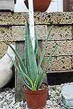 Echte Aloe Vera