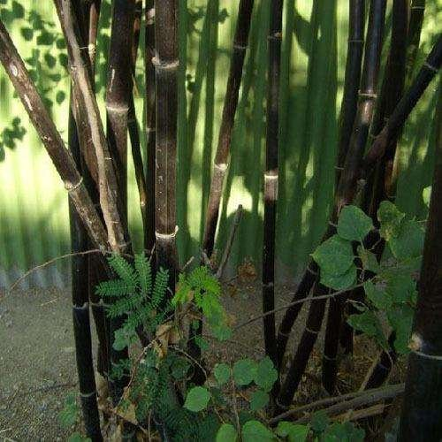 D'énormes 80 graines/paquet pubescens géant Phyllostachys Moso graines de bambou rustiques -Giant 7