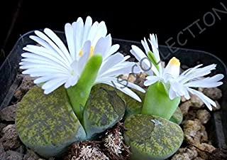 Rare LITHOPS LESLIEI V ALBINICA Living Stone Rock Cactus Cacti Seed -15 Seeds AJND-0113