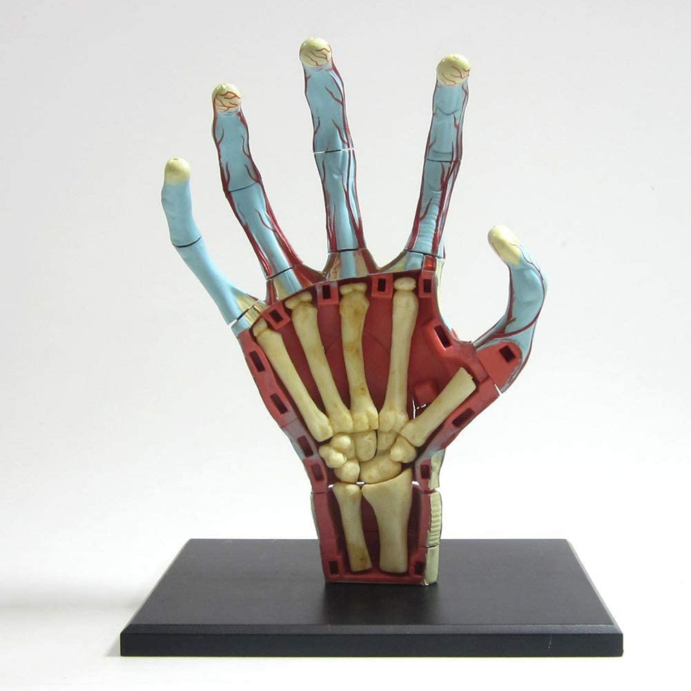 ZAMAX Translated Study Model Today's only Assembly Anatomy Educational Anatom Hand