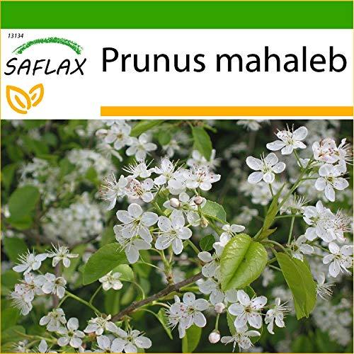 SAFLAX - Cerisier de Sainte-Lucie - 30 graines - Avec substrat - Prunus mahaleb