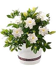 ガーデニア 母の日ギフト 鉢花