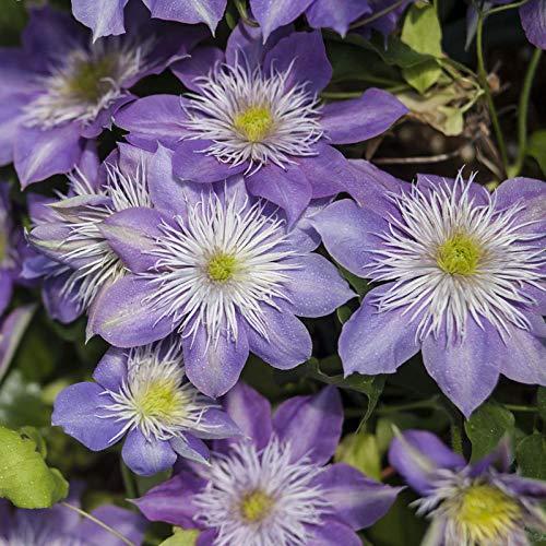 Semillas de Flores Paisaje para,Clematis Flower Plant-+ Pot + Soil_L,perennes Semillas de Flores