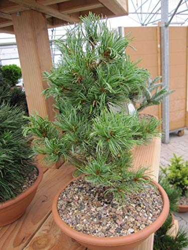 Pinus parviflora Schoons Bonsai - Mädchenkiefer Schoons Bonsai