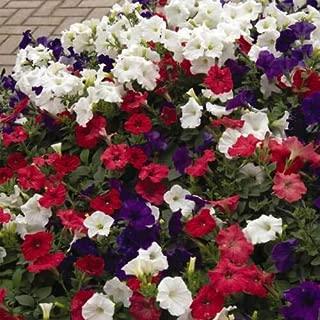 100 Pelleted Seeds Petunia Easy Wave Annual Flower Garden Seeds Beautiful Gardening (Neon Rose)