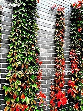 VISTARIC 7: 50 Pcs mixte Boston Seeds 100% vrai Parthenocissus tricuspidata semences de plantes en plein air QUASIMENT soins décoratifs Escalade de plantes 7