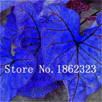 GEOPONICS SEEDS: Verkauf! 100 Stück Caladium Bonsai Caladium Blumen Bonsai Zimmerpflanzen Bonsai Colocasia Anlage für Hausgarten-Topfpflanze: 20