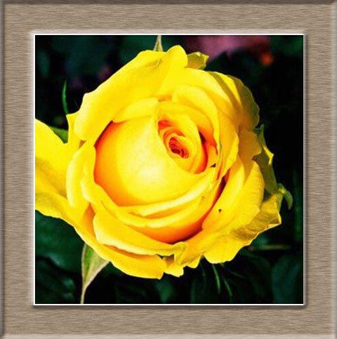 Graines de semences Rare Rose For Your Lover Seed Rainbow Rose Flower - 50pcs