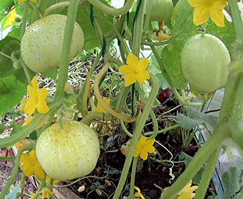 Gurke Crystal Lemon - 20 Samen