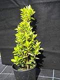 Euonymus Japonica evonimo giapponese varigato mandrino Vendiamo semi non solo la pianta. Il prezzo include funzioni customes Seeds è il pacchetto completo. Trasporto che a livello internazionale