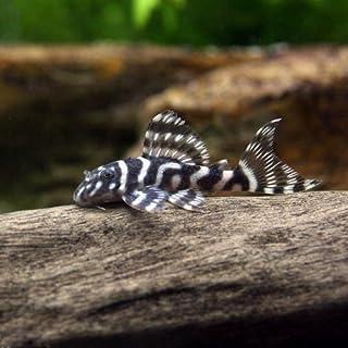 (熱帯魚)キングロイヤル・ペコルティア Sサイズ(ブリード)(1匹) 本州・四国限定[生体]