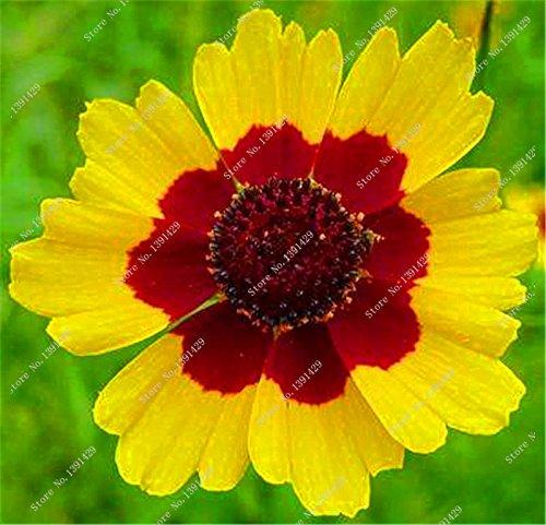 Schlangen-Kopf-Chrysanthemum Seed Husarenknopf Blumensamen-DIY Hausgarten Haushalts Bonsai Pflanze 100 Stück