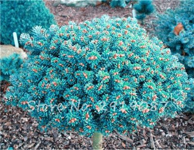 Colorado mixtes Graines de sapin Coloful Spruce Graines Picea arbre en pot Bonsai Cour Jardin Bonsai usine Pine Tree Seeds 100 Pcs 9