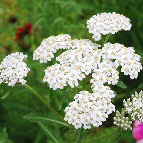 Non GMO Bulk White Yarrow Seeds Achillea millefolium (1/2 Lb)