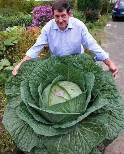 ShopMeeko Seeds:100Seeds Rare Giant Russian Cabbage Vegetabl