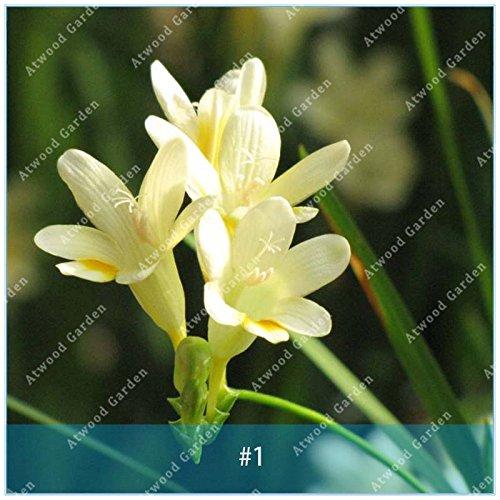 ZLKING 2pcs Freesia bulbo Bonsai Bonsai Las plantas perennes Inicio Jardín de flores de bulbo No semilla de alta germinación Tasa Fácil Rápido crecimiento de 1