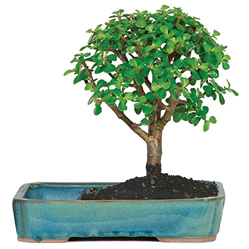 Brussel's Live Jade Indoor Bonsai Tree in Water Pot - 3 Years Old; 8' to 10' Tall