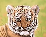 Hi Pile Super Plush Throw Blanket - Tiger