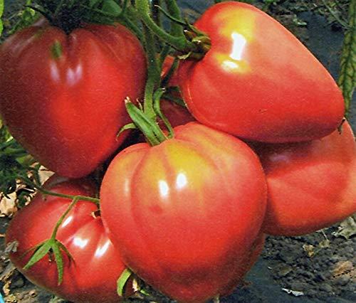 Bobby-Seeds BIO-Tomatensamen Ochsenherz, Cuor di bue Sortenrar. Portion