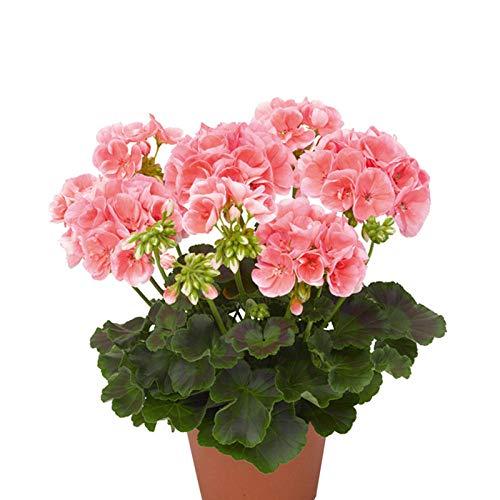 XINDUO Frühling Blumen mehrjährig winterhart,Geranie Vier Jahreszeiten leicht zu Pflanzen Blumensamen-50 Kapseln_Orange,Lange Blütezeit winterhart