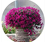 Kisshes Giardino - 200 pezzi viola Petunia Hanging Semi di fiori Fiore bonsai mare semi della petunia, piante da giardino, fiori perenni Hardy illuminazione vostro giardino