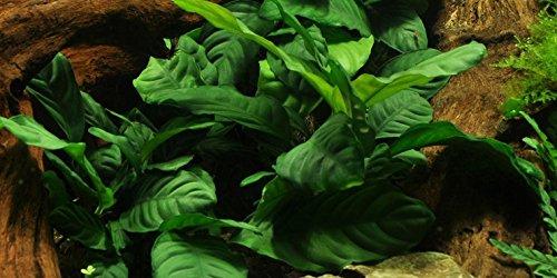 Anubias barteri 'Coffeefolia' - Live Aquarium Plant