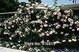 Shopvise 100 Rose Eden Climber Semi arrampicano Rosa Semi Bonsai Fiori e Giardino Sementi Sementi