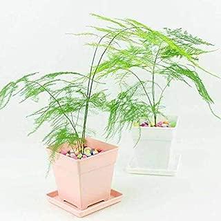Fern Leaf Plumosus Asparagus Fern Seeds 6+ Easy to Grow Great Houseplant