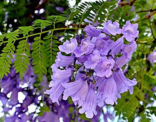 100 Jacaranda mimosifolia Samen, Palisanderholzbaum, -7°C, ideal auch als Bonsai