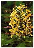 TROPICA - Riesen - Schmetterlingsblume (Hedychum...