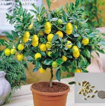 (Lemon DAmbizu 50 semillas de limón de alta tasa de supervivencia para el hogar Gatden Backyard