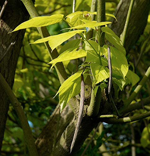Gold-Trompetenbaum Catalpa bignonioides 'Aurea' Pflanze 70-80cm Beamtenbaum