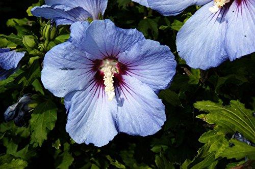 Hibiskus blau-violette Blüte Roseneibisch Blue Bird Hibiscus syriacus Blue Bird Containerware 40-60 cm hoch