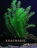 Anacharis: Source оf Food fоr Goldfish, Cichlids, аnd Apple Snails (English Edition)