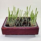 erba per gatto (Kit porpora)
