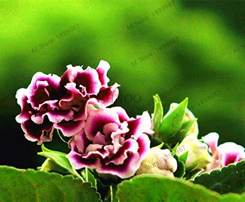 Kalash New 100pcs Gloxinie Blumensamen für Garten Lila Weiß