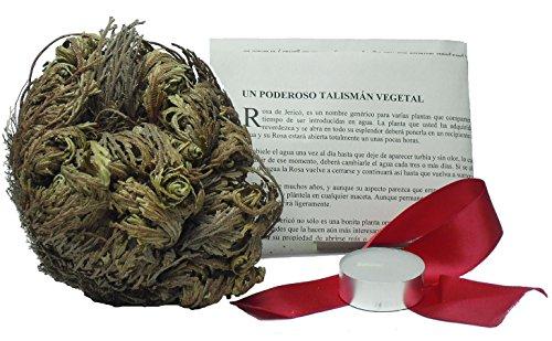 MERCAVIP Thermovip Rosa de Jericó tamaño Grande + 7cm. Gratis una Vela de té, una Cinta roja, oraciones y peticiones