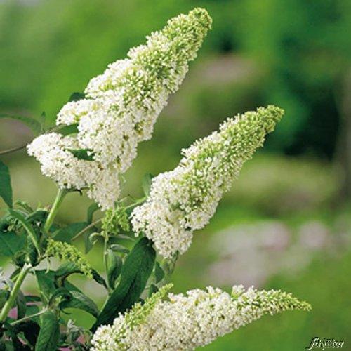 Schmetterlingsflieder White Profusion - Sommerflieder (Buddleja) Pflanze in weiß, halbschattig und winterhart - Flieder-Strauch von Garten Schlüter