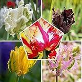 25 x Papagei Tulpen Frühlingsmischung | Exklusive Tulpenzwiebeln aus Holland | Mindestens 5 verschiedene Sorten und Farben | Winterharte und mehrjährig Tulpen für Garten, Töpfe und Balkon.